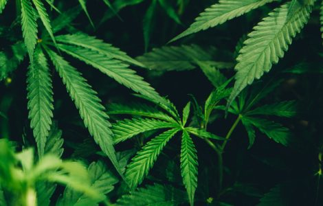 Jamaica Invests In In Marijuana Research