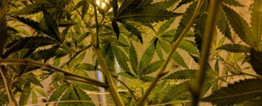 Cannabis does not increase suicidal behavior in psychiatric patients